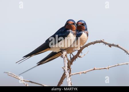 Barn swallow, Hirundo rustica - Stock Photo