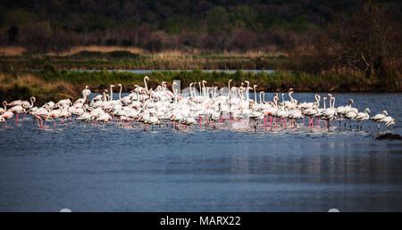 Greater flamingo, Phoenicopterus roseus - Stock Photo