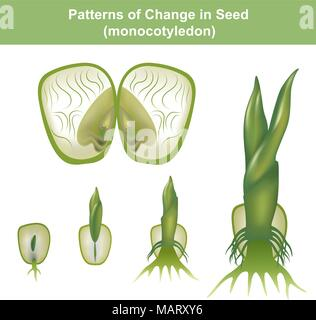 Monocotyledon. showing hypogeal development in which the cotyledon remains invisible within the seed, underground. - Stock Photo