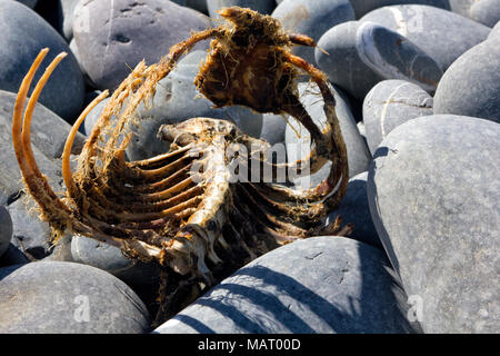 Detailed Rib Section of a Grey Seal Skeleton washed up on Greencliff Beach in North Devon. - Stock Photo