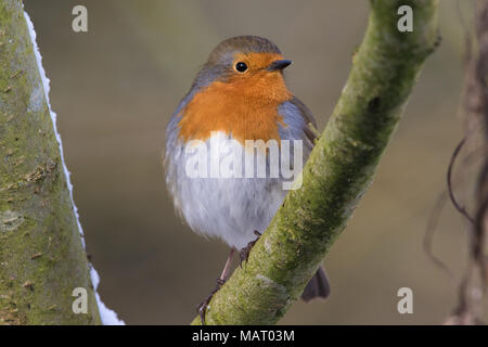 European Robin (Erithacus rubecula) perched on a branch on a snowy winter's day - Stock Photo