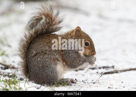 Eastern Grey Squirrel (Sciurus carolinensis) feeding on nuts in the snow - Stock Photo