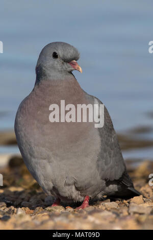 Stock Dove (Columba oenas) standing at the water's edge of a lake - Stock Photo