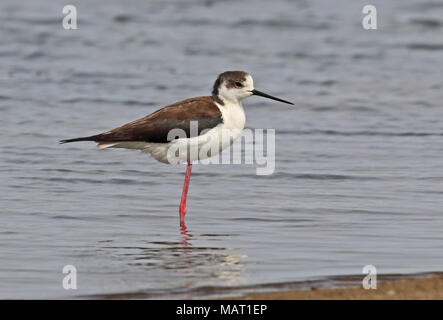 Black-winged Stilt (Himantopus himantopus himantopus) first year standing on one leg in shallow water  Hebei, China     May - Stock Photo