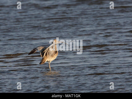 Far Eastern Curlew (Numenius madagascariensis) adult standing in shallow water with wings raised  Beidaihe, Hebei, China   May - Stock Photo
