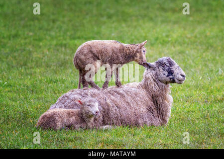 Burley-in-Wharfedale, West Yorkshire. 4th Apr, 2018. UK weather:  Lamb avoiding the wet by standing on its mother's back, 'If I nibble your ear, please can I stay standing up here?'  Rebecca Cole/Alamy Live News - Stock Photo
