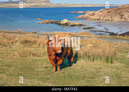 Highland Cow above the beach in Fionnphort, Isle of Mull, with the Isle of Iona visible in the background. - Stock Photo