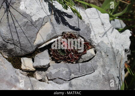 wild species of red leaved sempervivum on the rock - Stock Photo