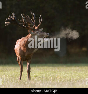 Red Deer / Rothirsch ( Cervus elaphus ) stag, roaring on a meadow at the edge of a forest, visible breath cloud, early morning light, Europe. - Stock Photo