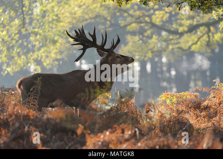Red Deer / Rothirsch ( Cervus elaphus ) stag during rut, stands in fern at the edge of a forest, calling, roaring, visible breath cloud, Europe. - Stock Photo