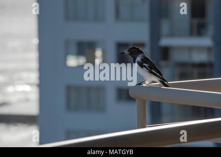A Pied Butcherbird, (Cracticus nigrogularis) sitting on an apartment balcony in Forster, NSW, Australia. Butcherbirds are related to Pied Magpies. - Stock Photo