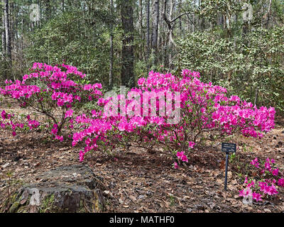 Rhododendron simsii, Chinese Azalea, growing and in full bloom or blooming with pink flowers or blooms in Callaway Garden, Pine Mountain Georgia, USA. - Stock Photo