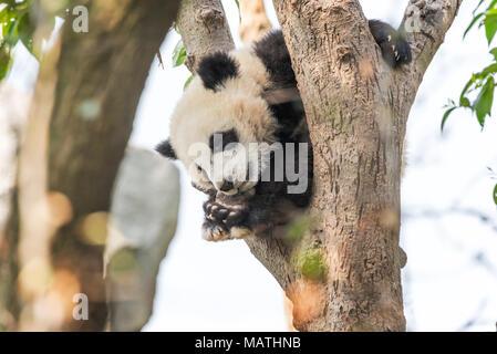 Panda cub sleeping in a tree, Chengdu, China - Stock Photo