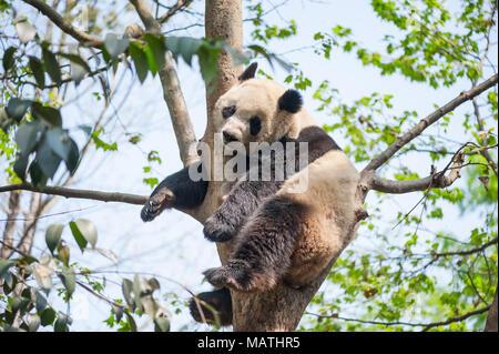 Giant panda sleeping in a tree, Chengdu, China - Stock Photo
