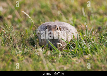 European ground squirrel (Spermophilus citellus), European souslik - Stock Photo