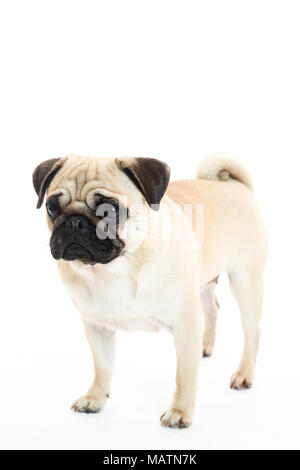 Light fawn pug in a studio with a white background - Stock Photo