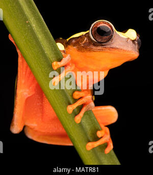 Leaf or tree frog, Dendropsophus leucophyllatus. Treefrog with vibrant red color from the Amazon rain forest in Brazil, Peru, Ecuador and Bolivia. - Stock Photo
