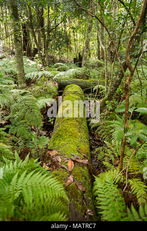 Moss cloaked log, emerald ferns and bracken among forests of Conondale Ranges National Park in Queensland Australia - Stock Photo