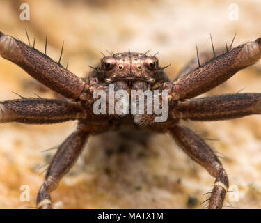 Crab Spider (Xysticus sp.) in defensive pose on a rock. Tipperary, Ireland - Stock Photo