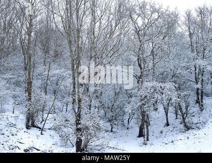 Forest landscape with trees covered with snow during wintertime in the dunes at the coast of The Hague, Netherlands. Westduinpark is a dune area - Stock Photo