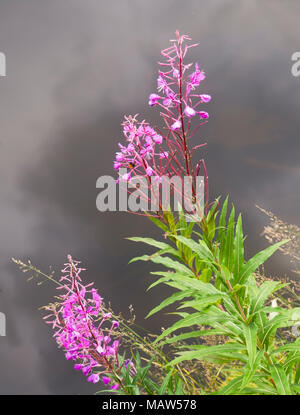 Rosebay, Chamaenerion angustifolium, strikingly pink wildflowers, natural beauty at the edge of a pond in Oslo Norway - Stock Photo