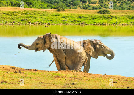 Two young African Elephants near a pool. Addo Elephant National Park, popular tourist destination for elephant safari and observation. Eastern Cape, South Africa. Summer season. - Stock Photo