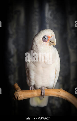 A portrait of a bare eyed cockatoo. - Stock Photo