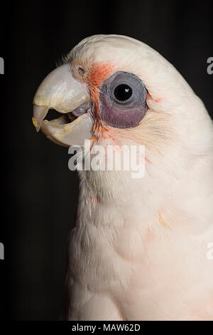 A close up of a bare eyed cockatoo against a black background - Stock Photo