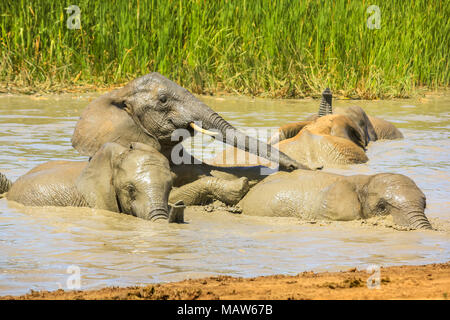 Close-up of African Elephants bathing in the mud of a pool in a summer season, to lower the body temperature. Addo Elephant National Park, Eastern Cape, South Africa. - Stock Photo