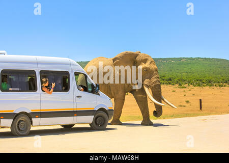 Addo, South Africa - January 3,2014: Tourist woman photograph an African Elephant from a tour bus in Addo Elephant Park in South Africa. Elephant walks in front of a pickup truck on a safari in Africa - Stock Photo