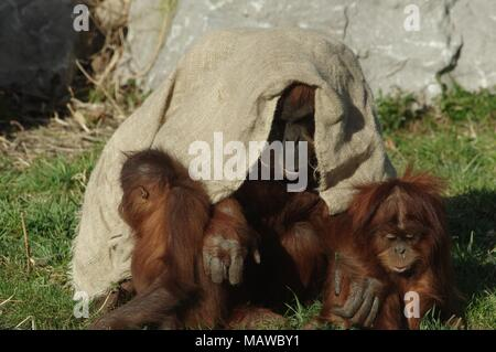 Three orangutans have fun in Chester Zoo. There are 2 adorable babies and one adult, comfortably sat on luscious green grass, messing around together. - Stock Photo