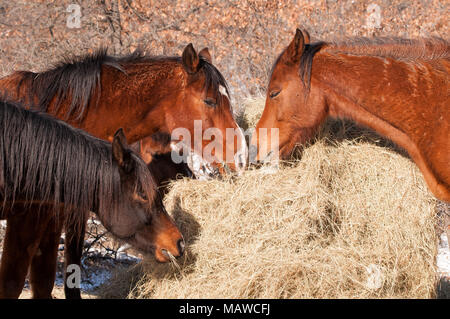 Closeup of horses eating hay from a large round bale in winter - Stock Photo