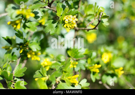 Blossom branches of black currant close-up, shallow depth of field, bokeh. - Stock Photo