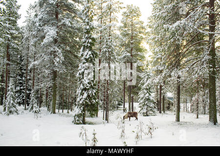 Beautiful Scenic View Of Snowy Forest With Tall Pine Trees And A Reindeer  During Winter In Lapland Finland, Season's Greeting Christmas - Stock Photo