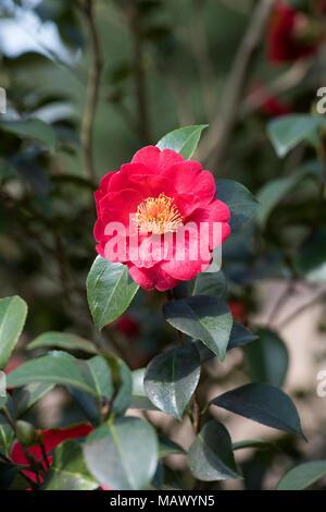 Camellia japonica 'Alexander hunter' flower in march. UK - Stock Photo