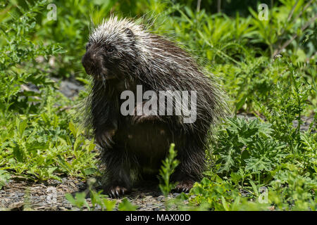 North American Porcupine (Erethizon dorsatum) - Stock Photo