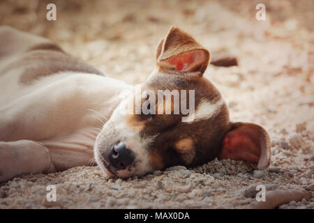 chihuahua dog relaxing and resting , lying on the sand at the beach on summer vacation holidays, ocean shore behind. little cute puppy. nice, sweet, p - Stock Photo