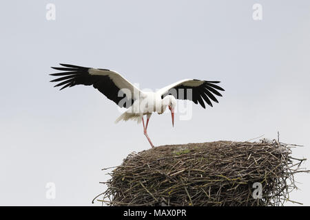 White Stork, Ciconia ciconia, displaying at nest - Stock Photo