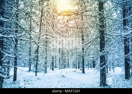 Beautiful Snowy Day With Sunlight In A Forest During Winter In Lapland Finland Christmas Greeting Card Background - Stock Photo