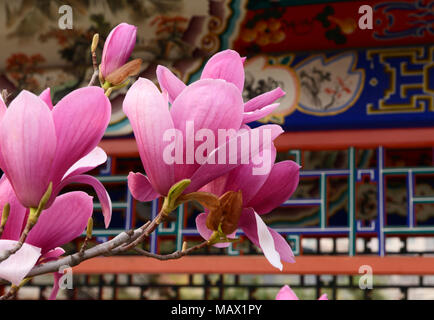 A Magnolia liliiflora tree flowers in a park in central Beijing. Also known as Mulan magnolia, the species originates from southwest China - Stock Photo
