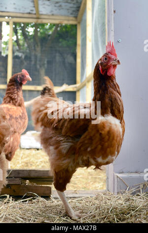 GLASGOW, SCOTLAND, UK - AUGUST 16 2013: An ISA Brown hen coming into the hen house.