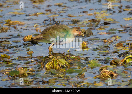 Purple gallinule (Porphyrio martinicus), Orlando Wetlands Park, Florida - Stock Photo
