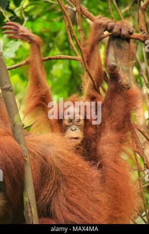 Baby Sumatran orangutan next to its mother n Gunung Leuser National Park, Sumatra, Indonesia. Sumatran orangutan is endemic to the north of Sumatra an - Stock Photo