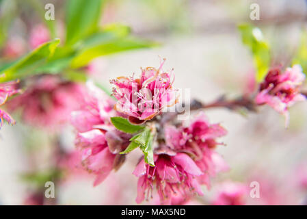 peach blossoms in spring time - Stock Photo