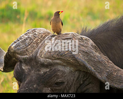 Yellow-billed oxpecker (Buphagus africanus) perched on boss of very worn  horns of old bull Cape buffalo (Syncerus caffer) in Masai Mara, Kenya Africa - Stock Photo