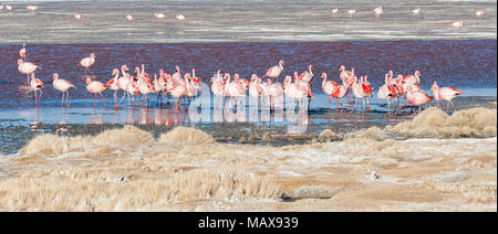 Group of pink flamingos in the colorful water of Laguna Colorada, a popular stop on the Roadtrip to Uyuni Salf Flat, Bolivia - Stock Photo