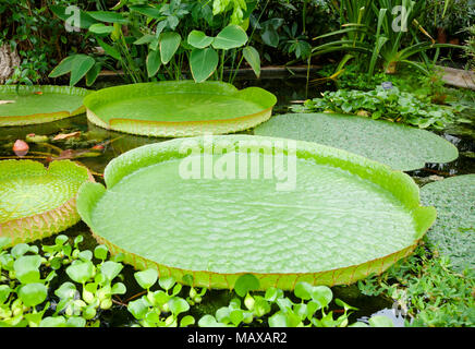 Floating curvy leaves of Victoria cruziana (Santa Cruz water lily, water platter, yrupe, Victoria argentina)  tropical flowering plant in a pool of bo - Stock Photo