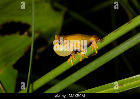 A clown tree frog, Dendropsophus leucophyllatus, inflating its vocal sac and calling near Bakhuis in the jungles of Suriname, South America - Stock Photo