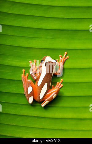 A clown tree frog, Dendropsophus leucophyllatus, on a palm leaf, photographed near Bakhuis in the jungles of Suriname, South America. - Stock Photo