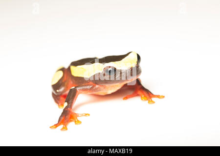 A clown tree frog, Dendropsophus leucophyllatus, on a white background, photographed near Bakhuis in the jungles of Suriname, South America. - Stock Photo